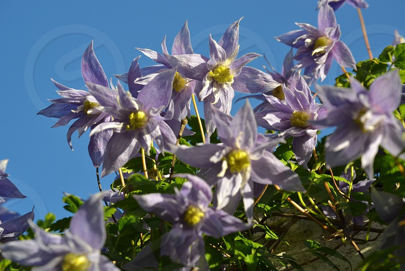 Purple clematis flowers with the blue sky as a background. photo