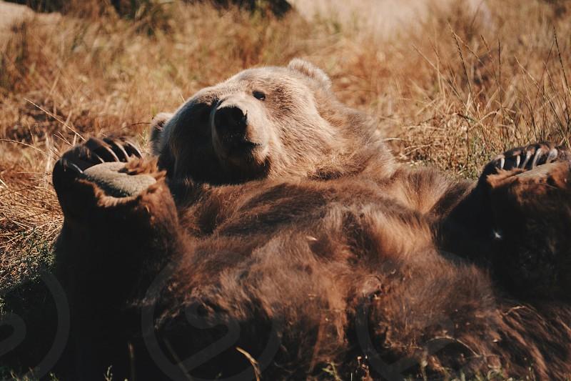 brown bear lying on brown grass photo