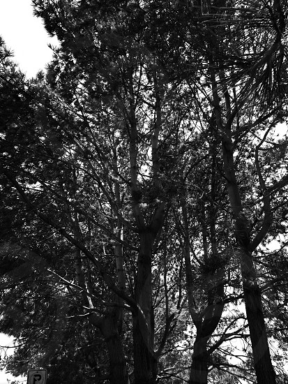 Trees black and white sky sun nature forest photo