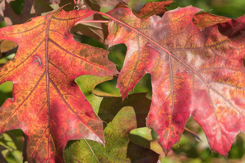 Quercus rubra commonly called the northern red oak or champion oak in Autumn photo
