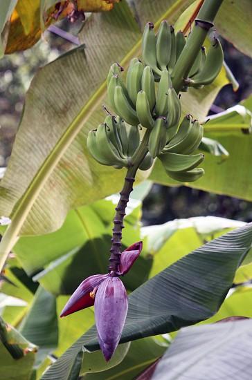 banana tree fruit growing photo