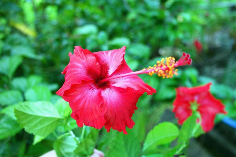 auto focus and macro photography of a gumamela flower photo