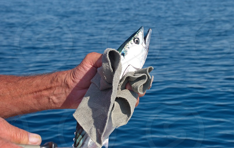 Midsection of senior fisherman holding fish on Adriatic sea photo
