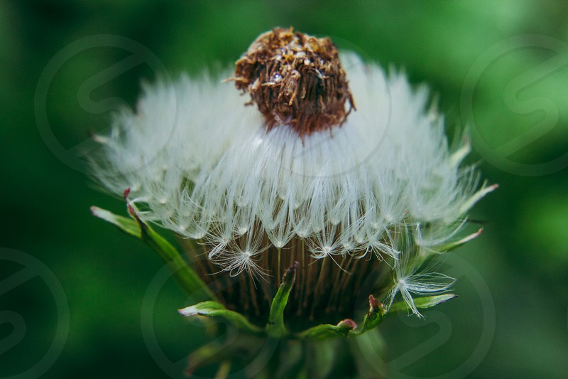 focus photography of withered dandelion photo