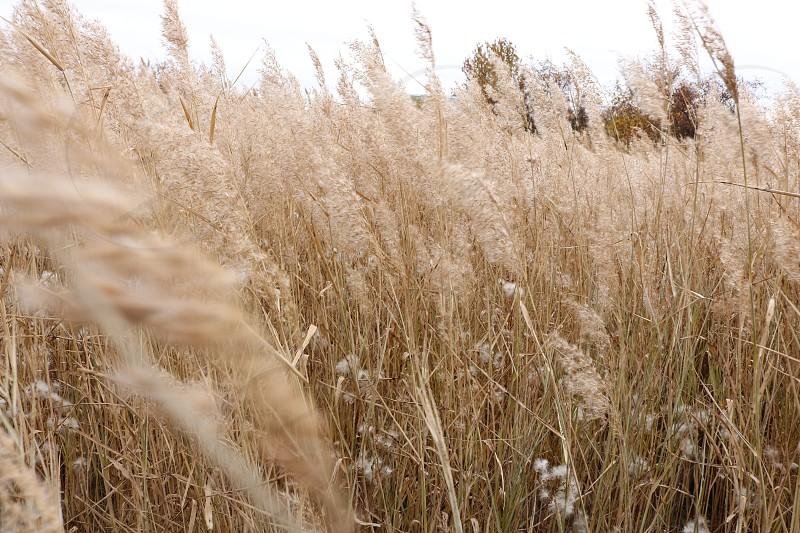 Long grass in autumn photo