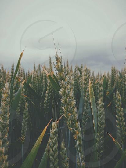 wheat field photograph photo