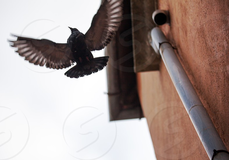 Low angle shot of flying bird showing wing spread by the wall with rainwater downpipe against sky background photo