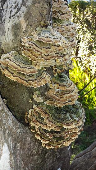 Mushroom fungus on tree photo