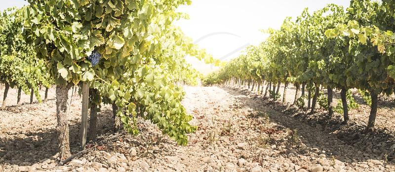 Vine grapes on sun backlight photo