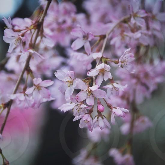 white and pink stephanotis flower photo