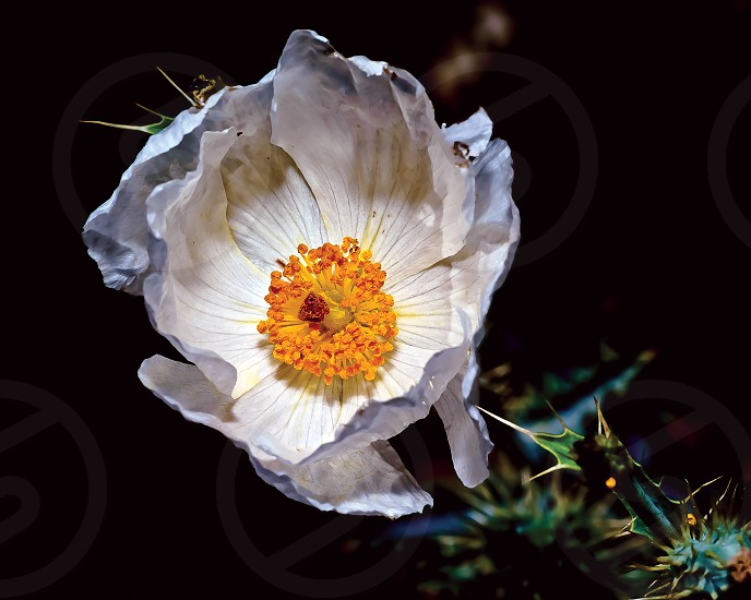 The white flower of the Southwestern Prickle Poppy. This noxious weed grows wild in many parts of the American Southwest including Arizona.  photo
