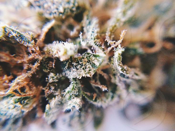 Marijuana macro photo