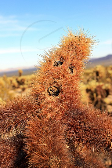 Cactus cholla face funny cute scary landscape desert Joshua tree national park closeup macro color outdoors outside hike camping camp cholla garden California cali SoCal  photo