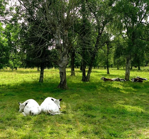 twins soul mates white cows green grass trees photo