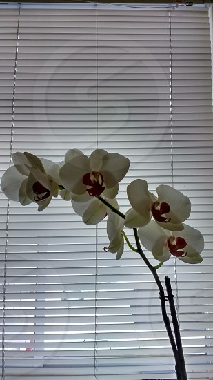 orchid blinds window photo