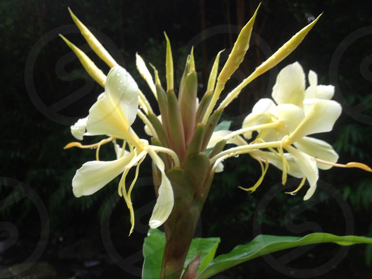white ginger lilies in closeup photo photo