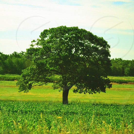 large green tree photo