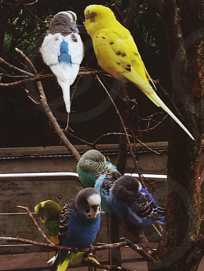 yellow and blue parrots photo