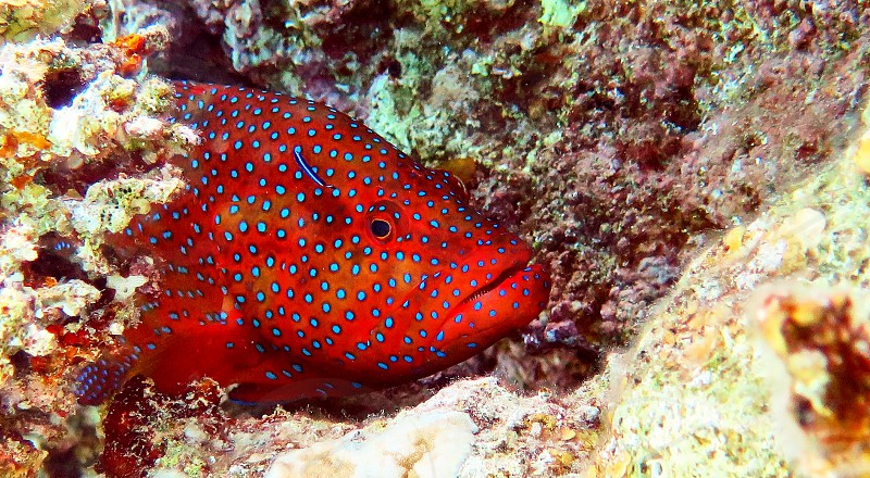 Big red fish in Red sea Eilat Israel.                     photo