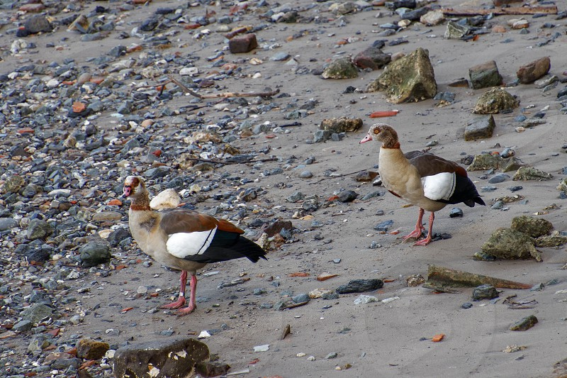 Egyptian Geese on the South Bank of the Thames photo