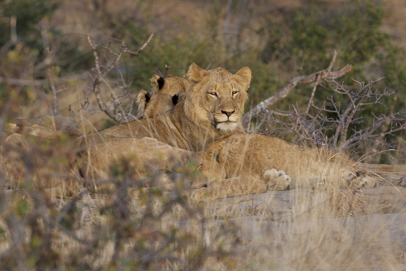 Lions Resting - South Africa photo