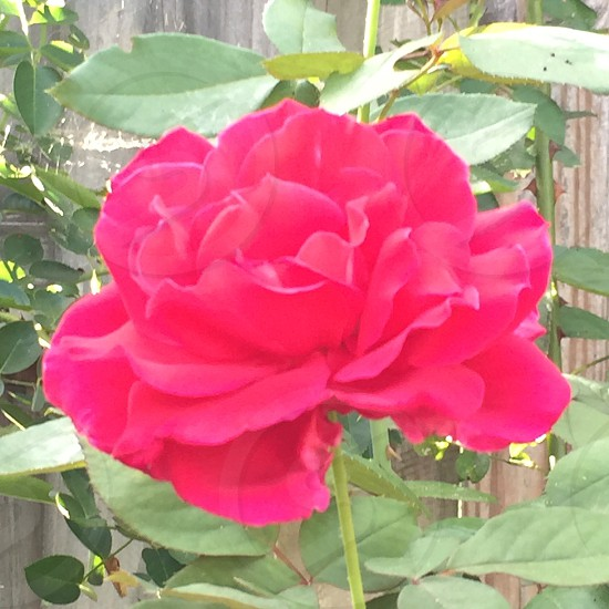 Red rose; green leaves; thorns photo