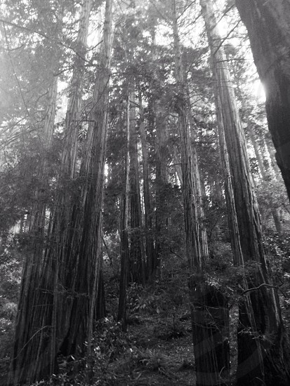 Muir woods and CA redwoods photo