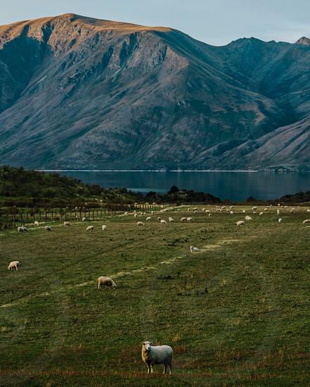 One sheep Two sheep Three sheep photo