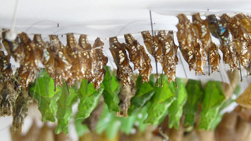 Butterfly cocoons at  Calloway Gardens in Georgia photo