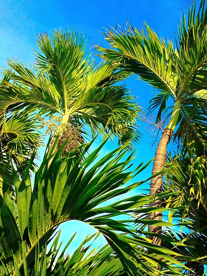 Palm trees against blue sky background photo