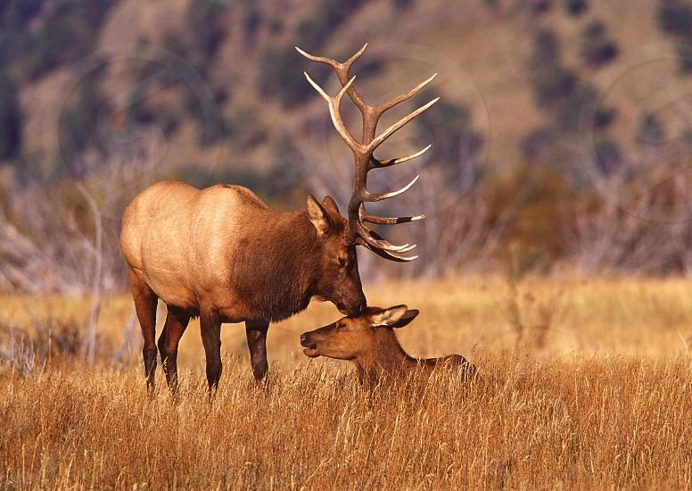 Bull elk and cow during rut. Rocky Mountain National Park Estes Park Colorado photo