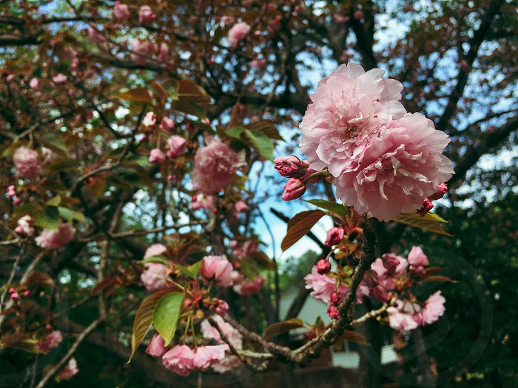 Pink flowers tree bloom beautiful nature south spring  photo