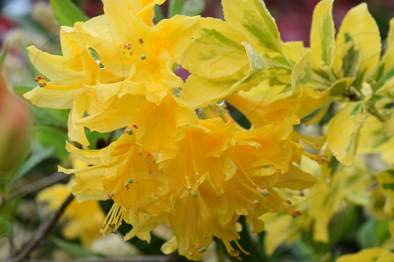 Azalea yellow flowers Euonymus raindrops spider photo