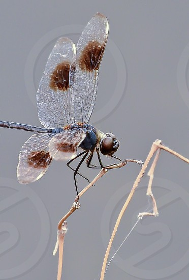 Dragonfly insect macro  photo
