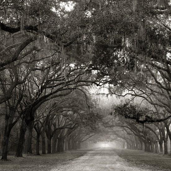 Wormsloe Live Oak Road photo
