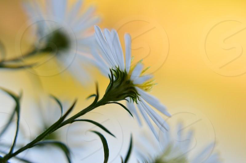 white gold flower daisies macro petals photo