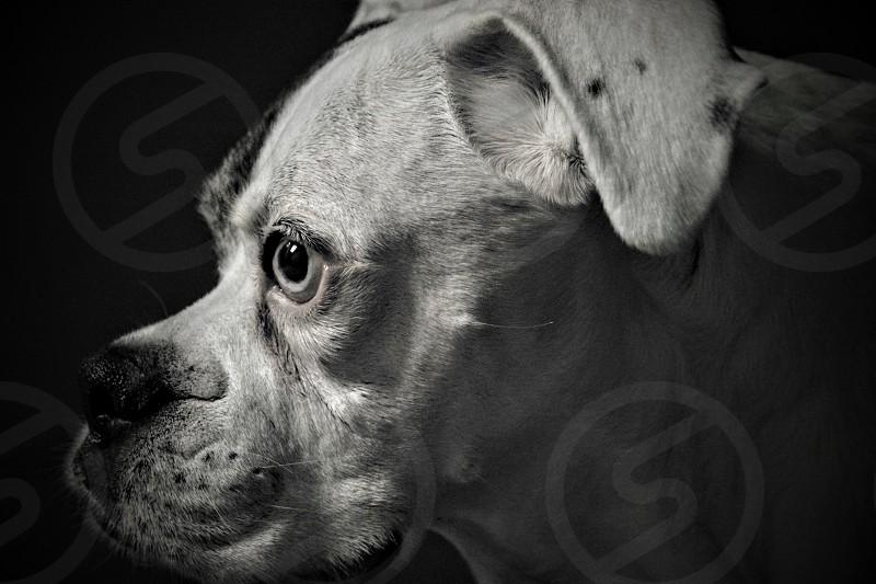 Dog profile animal pit pit bull  photo