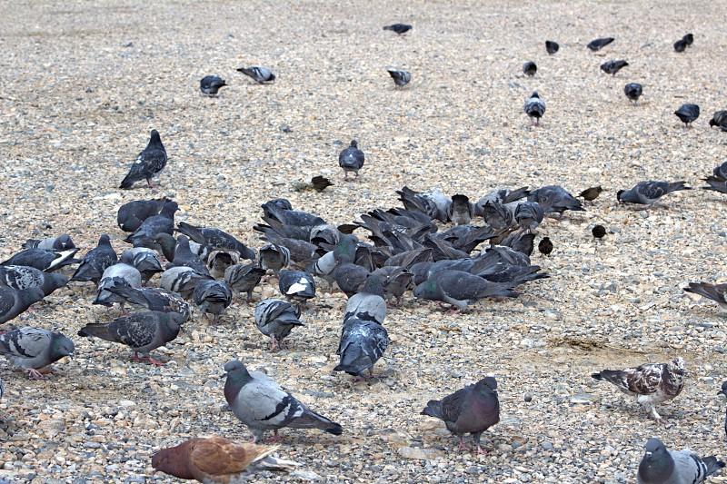 Pigeons feeding photo