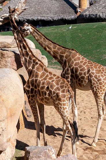 VALENCIA SPAIN - FEBRUARY 26 : African Giraffes at the Bioparc in Valencia Spain on February 26 2019. Unidentified people photo