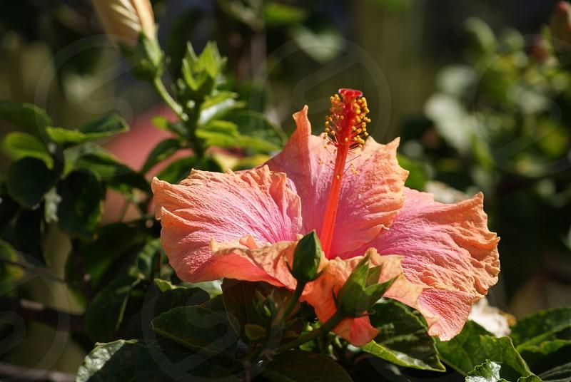 Tropical Hibiscus Flower photo