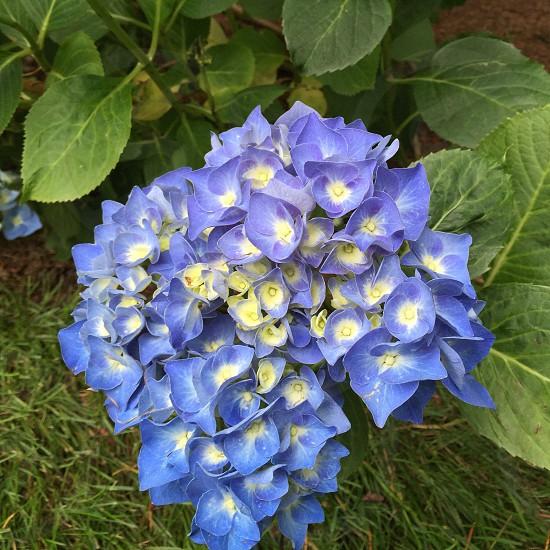 Blue white mophead hydrangea flowers photo