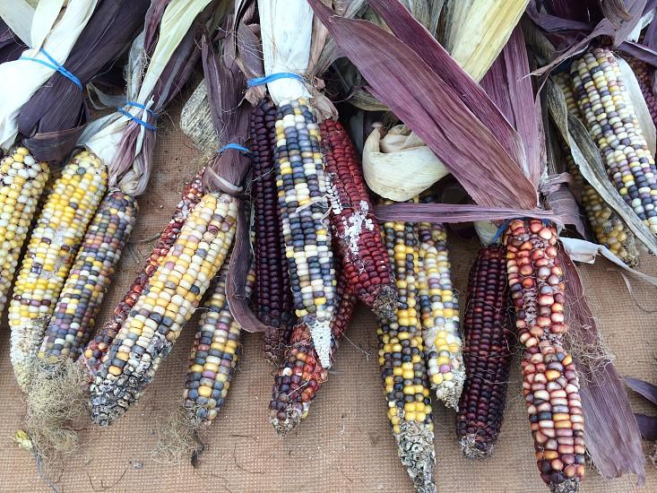 Heritage corn decorative Halloween fall decor photo