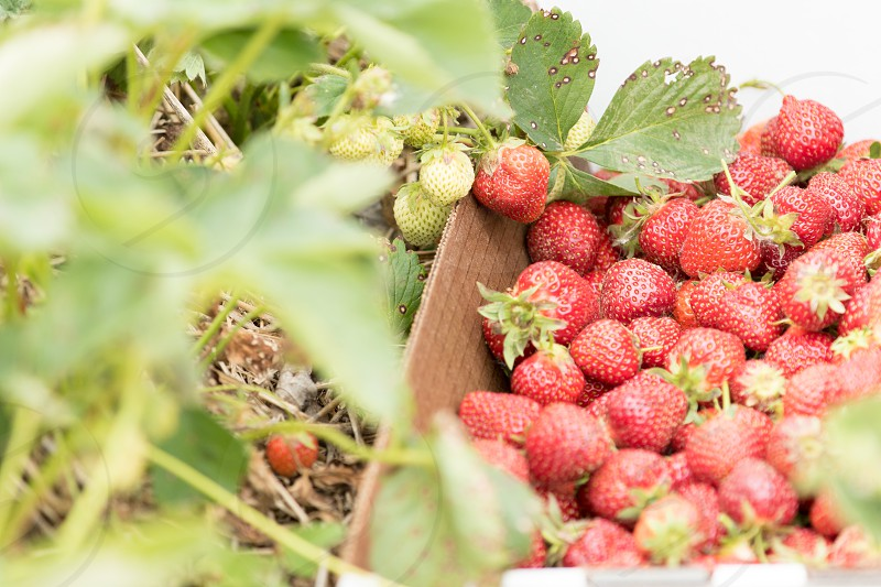 A box of freshly picked strawberries on a farm photo