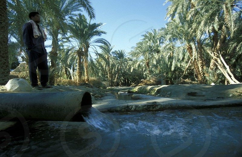 Dates Plantation in of the town and Oasis of Farafra in the lybian or western desert of Egypt in north africa photo
