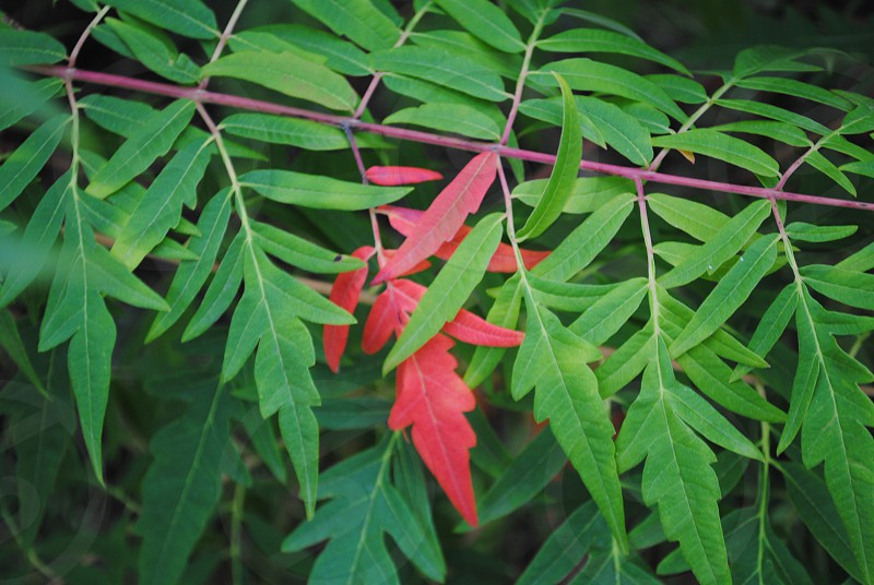 Hint of red leaf leaves foliage photo
