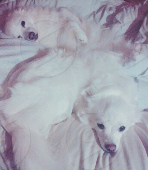 SkyeLynn and Daisy Min American Eskimo dogs having a lazy day. photo