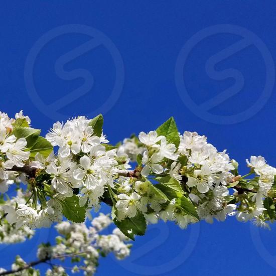 Apple blossoms against a vivid blue sky photo