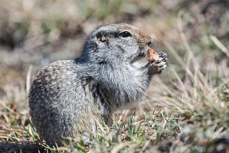 Kamchatka wildlife: cute ground squirrel. Russian Far East. photo