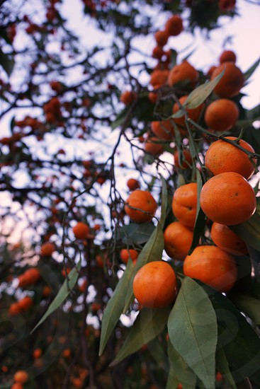 Clementines at sunset photo