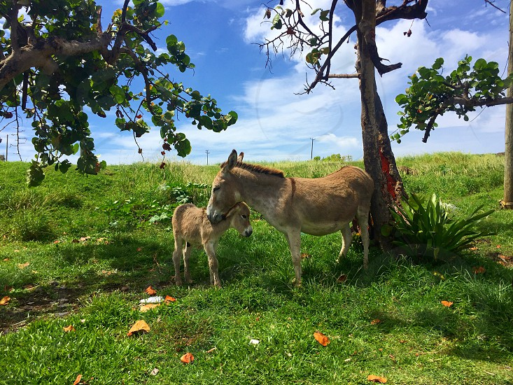 donkey mother offspring baby Island blue sky tree caribbean nature field Hill animal love bond bonding st.kitts clouds sunny day sun green  photo